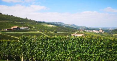 Wijngaard in Piëmonte (Italië)