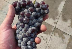 Nebbiolo druif in hand.