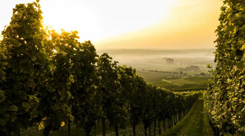 Wijngaard in Duitsland. Biologisch wijn en wijnbouw draagt meer zorg voor het milieu, ook in de wijngaard.